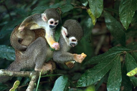 ksenia-ragozina-squirrel-monkey-in-amazon-rainforest