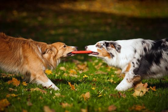 ksuksa-two-dogs-playing-with-a-toy-together