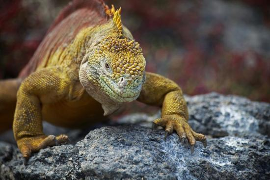 kymri-wilt-land-iguana-of-south-plaza-island-galapagos-ecuador