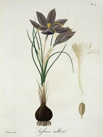 l-f-j-hoquart-saffron-crocus-from-phytographie-medicale-by-joseph-roques-published-in-1821
