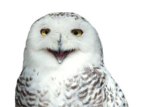 l-i-g-h-t-p-o-e-t-snowy-owl-bubo-scandiacus-smiling-and-laughing-isolated-on-white