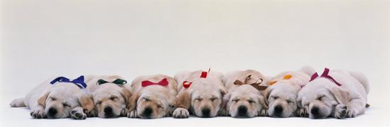 labrador-puppies-wearing-bows-sleeping