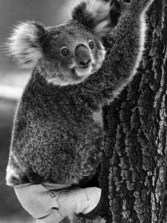 lally-the-koala-with-a-broken-leg-which-she-receive-during-trying-to-escape-a-bush-fire