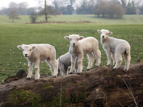 lambs-playing-on-a-log-in-stourhead-parkland-south-somerset-somerset-england-united-kingdom