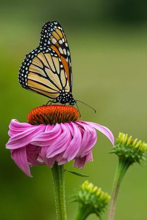 lantern-press-monarch-butterfly-and-flower
