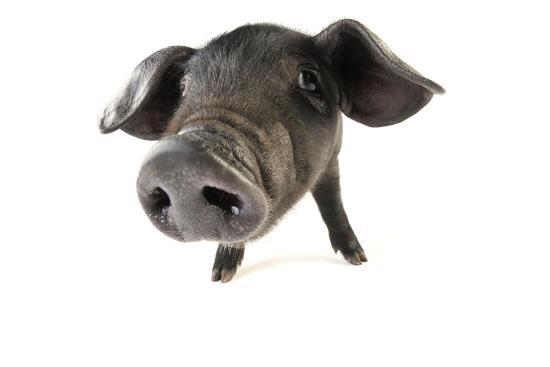 large-black-piglet