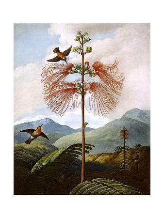 large-flowering-sensitive-plant