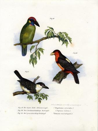 large-green-barbet-1864