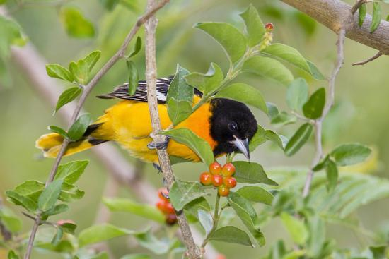 larry-ditto-baltimore-oriole-bird-foraging-during-migration-on-south-padre-island-texas-usa