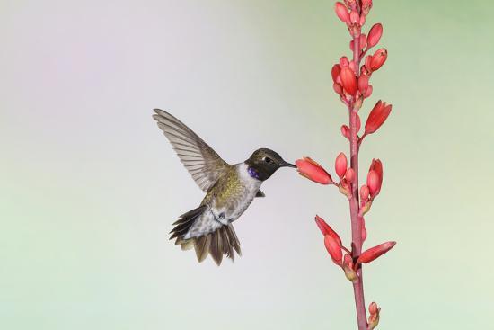 larry-ditto-black-chinned-hummingbird-adult-male-feeding