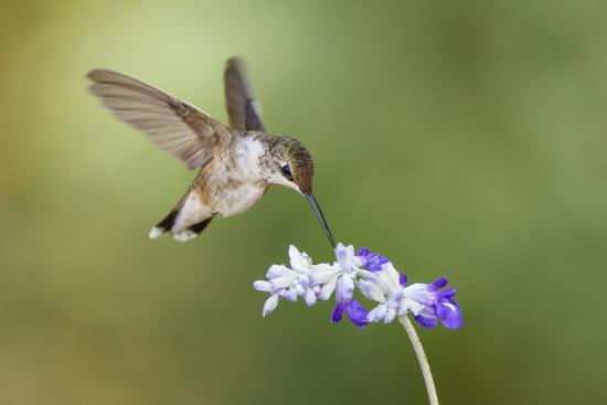 larry-ditto-black-chinned-hummingbird-feeding