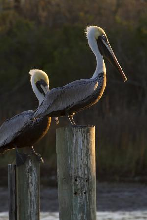 larry-ditto-brown-pelican-bird-sunning-on-pilings-in-aransas-bay-texas-usa