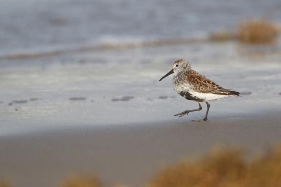 larry-ditto-cameron-county-texas-dunlin-feeding-on-beach-during-spring-migration