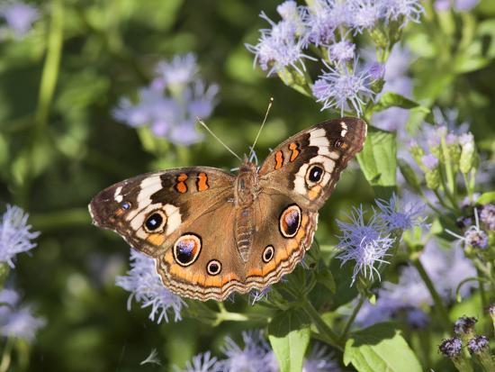 larry-ditto-common-buckeye-junonia-coenia-nectaring-on-mist-flowers-hidalgo-co-texas-usa