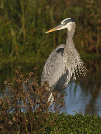 larry-ditto-great-blue-heron-wading-texas-usa