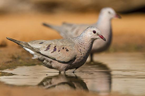 larry-ditto-hidalgo-county-texas-common-ground-dove-drinking
