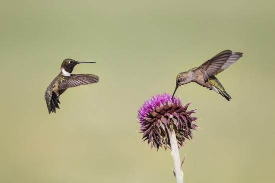 larry-ditto-kendall-county-texas-black-chinned-hummingbird-feeding-at-thistle