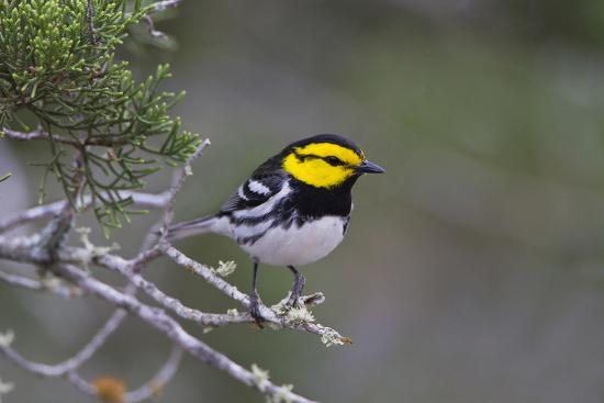 larry-ditto-kinney-county-texas-golden-cheeked-warbler-in-juniper-thicket