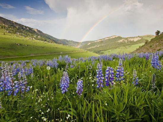 larry-ditto-lupines-in-bloom-and-rainbow-after-rain-bighorn-mountains-wyoming-usa