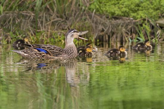 larry-ditto-mottled-duck-hen-and-young-feeding