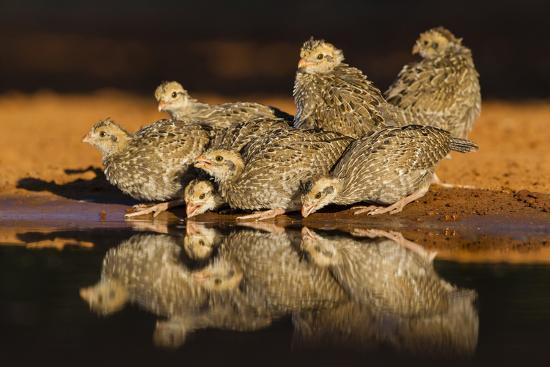 larry-ditto-northern-bobwhite-colinus-virginianus-young-drinking