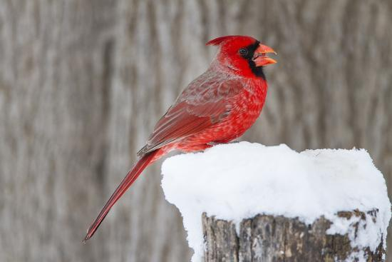larry-ditto-northern-cardinal-cardinalis-cardinalis-adult-feeding-in-snow