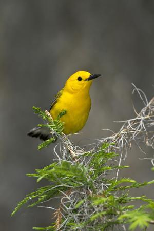larry-ditto-prothonotary-warbler-male-on-breeding-territory-texas-usa