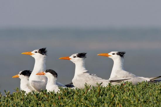 larry-ditto-royal-tern-sterna-maxima-nesting-in-a-colony-texas-usa