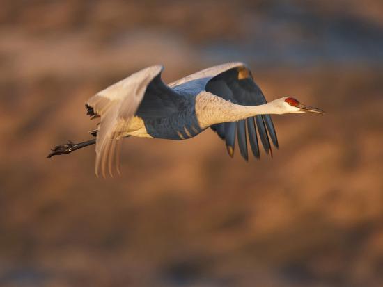 larry-ditto-sandhill-crane-in-flight-new-mexico-usa