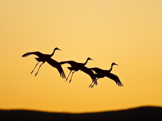 larry-ditto-sandhill-crane-in-flight-new-mexico-usa
