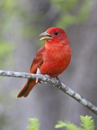 larry-ditto-summer-tanager-texas-usa