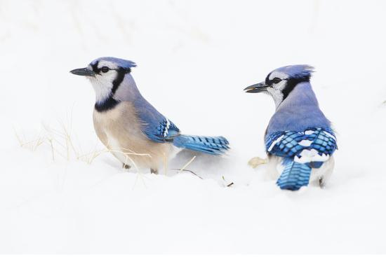 larry-ditto-wichita-county-texas-blue-jay-cyanocitta-cristata-feeding-in-snow