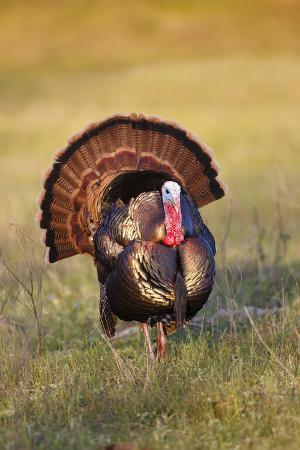 larry-ditto-wild-turkey-meleagris-gallopavo-males-strutting