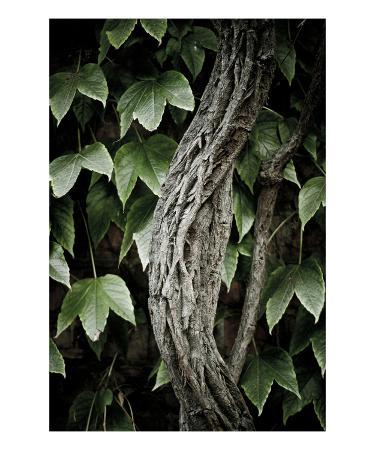 lars-hallstrom-ivy