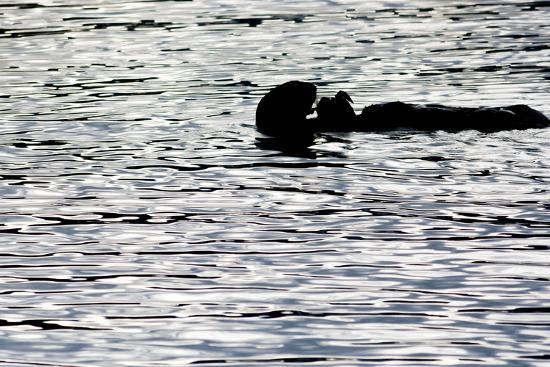 latitude-59-llp-black-lite-otter-eating-crab