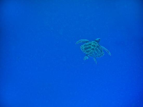 laura-grier-sea-turtle-swimming-zanzibar-island-tanzania-east-africa-africa