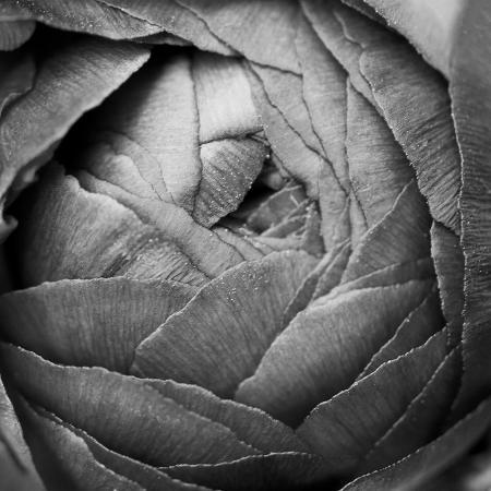 laura-marshall-ranunculus-abstract-iii-bw