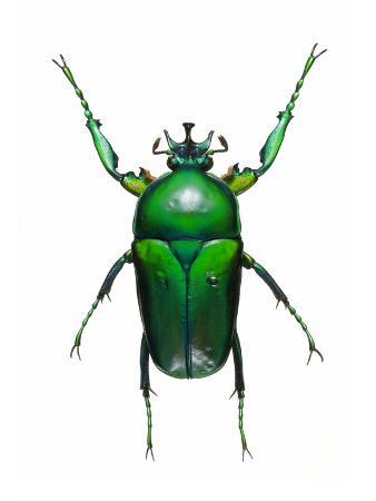 lawrence-lawry-neptunides-flower-beetle
