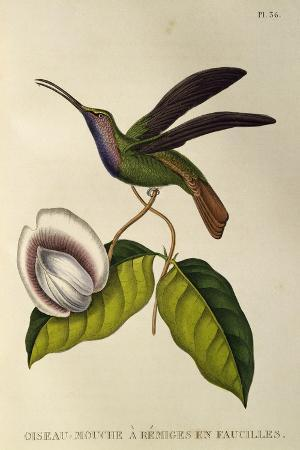 lazuline-sabrewing-campylopterus-falcatus