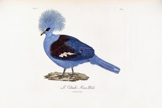 le-colombi-hocco-male-1796-1808