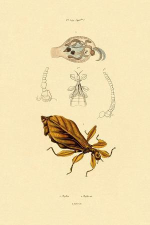 leaf-insect-1833-39