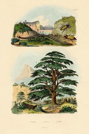 lebanon-cedar-1833-39
