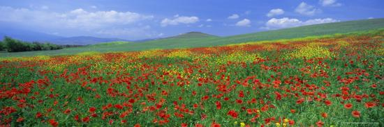 lee-frost-panoramic-view-of-field-of-poppies-and-wild-flowers-near-montchiello-tuscany-italy-europe