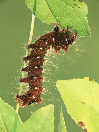 leroy-simon-oslar-s-eacles-moth-larva-or-caterpillar-eacles-oslari-eating-a-leaf-family-saturniidae-arizona