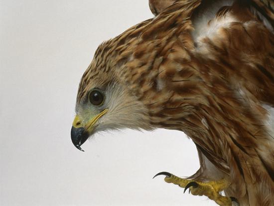 les-stocker-red-kite