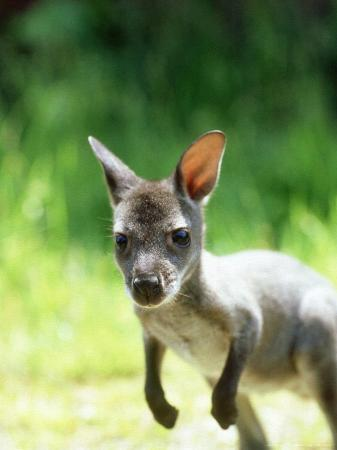 les-stocker-red-necked-wallaby-young-uk