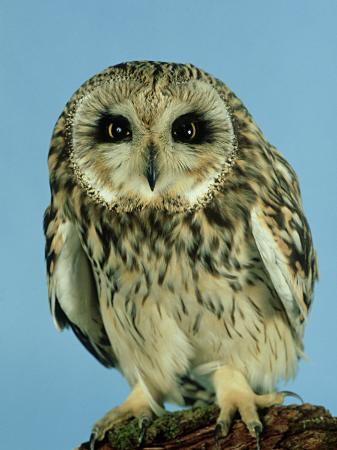 les-stocker-short-eared-owl-england-uk