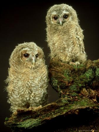 les-stocker-tawny-owl-young-uk