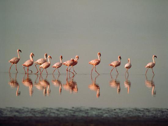 lesser-flamingo-line-of-eleven
