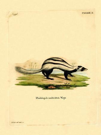 libyan-striped-weasel